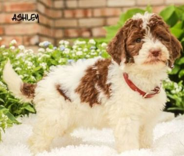 Ashley Female F1B Bernedoodle