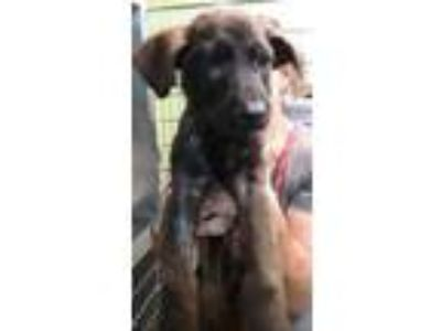 Adopt Fred a Black Labrador Retriever / Mixed dog in Georgetown, SC (25272617)
