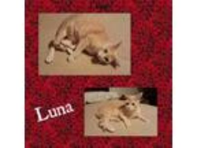 Adopt Luna a Domestic Short Hair, Tabby