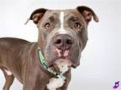 Adopt CANE a Pit Bull Terrier