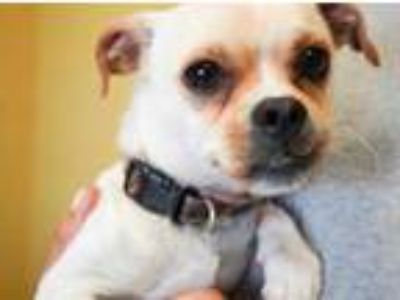 Adopt Snoop a Tan/Yellow/Fawn Pug / Beagle / Mixed dog in Bowling Green