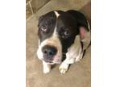 Adopt Louie L'Amour a Pit Bull Terrier