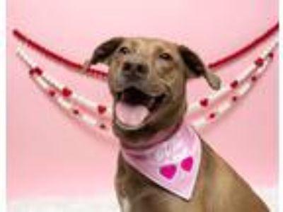 Adopt Roxy fka Zoey (Needs Foster) a Gray/Blue/Silver/Salt & Pepper Weimaraner