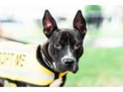 Adopt Bruce Wayne a Mixed Breed