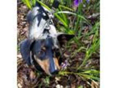 Adopt Fritz a Black - with Brown, Red, Golden, Orange or Chestnut Dachshund dog