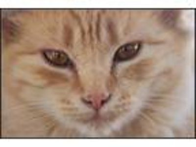 Adopt Outstanding Orange Cats a Domestic Short Hair, Domestic Long Hair