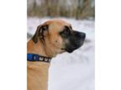 Adopt Bruce a Red/Golden/Orange/Chestnut Bullmastiff / Mixed dog in