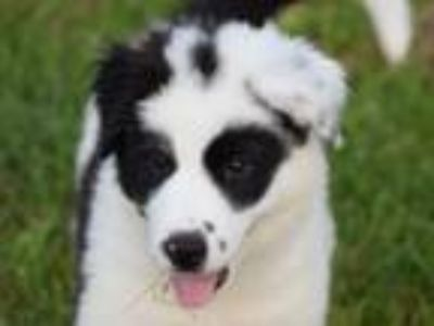 Adopt Holly a Border Collie, Great Pyrenees