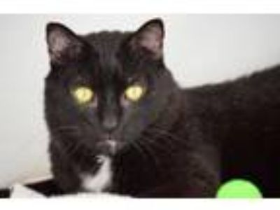 Adopt Jaguar a Domestic Short Hair