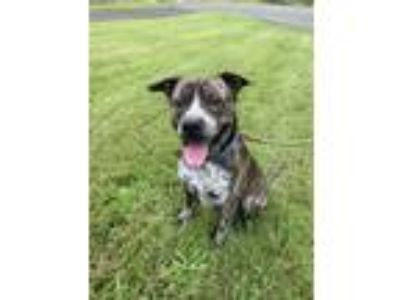 Adopt Moose a Brindle - with White Pit Bull Terrier / Australian Cattle Dog /