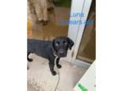 Adopt Luna #3 a Black Labrador Retriever / Mixed dog in Towson, MD (25857223)