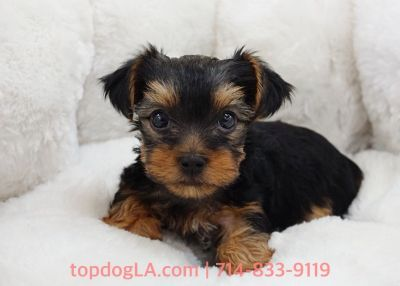 Yorkshire Terrier Puppy - Female - Hanna ($1,899)