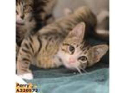 Adopt PERRY a Brown Tabby Domestic Shorthair / Mixed (short coat) cat in Conroe