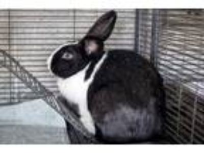 Adopt Kirk a Other/Unknown / Mixed rabbit in Napa, CA (23185892)