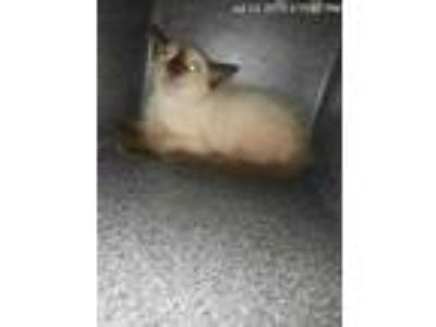 Adopt Whitman a White Domestic Shorthair / Domestic Shorthair / Mixed cat in