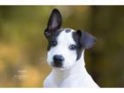 Adopt Kimberly a White - with Black American Pit Bull Terrier / Mixed dog in