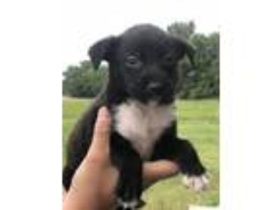 Adopt Hagan a Rat Terrier, Border Collie
