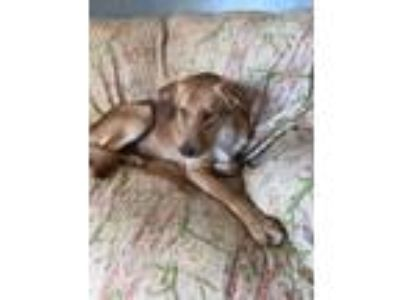 Adopt Rusty a Brown/Chocolate - with White Labrador Retriever / Mixed dog in