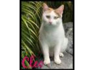"Adopt Cleopatra ""Cleo"" a Domestic Short Hair, Calico"