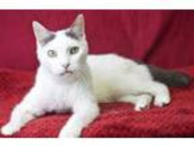 Adopt Yoshi a Gray or Blue Domestic Shorthair / Domestic Shorthair / Mixed cat