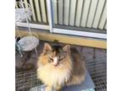 Adopt Miranda a Calico or Dilute Calico Maine Coon / Mixed (long coat) cat in