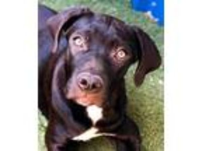 Adopt Aiden a Black Labrador Retriever / Mixed dog in Guthrie, OK (25912455)