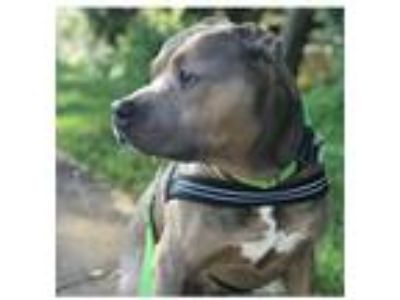 Adopt Potbelly a Tan/Yellow/Fawn - with White Pit Bull Terrier / Mixed dog in
