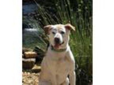 Adopt Lilly a Labrador Retriever
