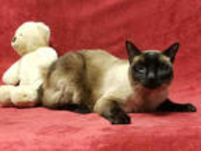 Adopt BARNEY a Brown or Chocolate (Mostly) Siamese / Mixed (short coat) cat in