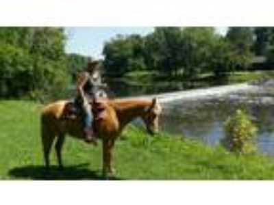 Great Palomino Quarter Horse Gelding