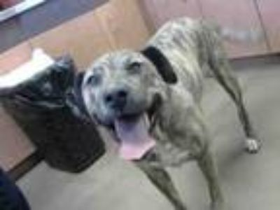 Adopt A762863 a Plott Hound, Mixed Breed