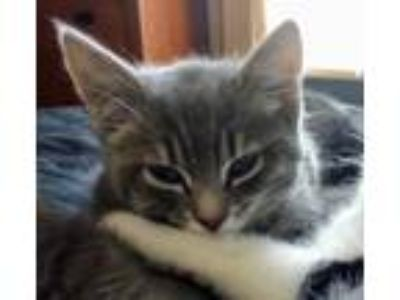 Adopt Lance a Gray, Blue or Silver Tabby Domestic Shorthair / Mixed (short coat)