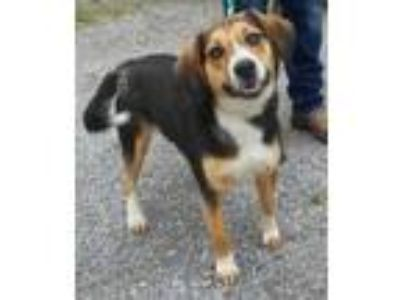 Adopt Carrie 5-11-19 a Tricolor (Tan/Brown & Black & White) Beagle / Mixed dog