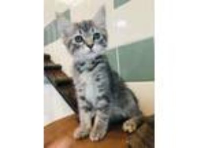 Adopt Peter a Domestic Short Hair