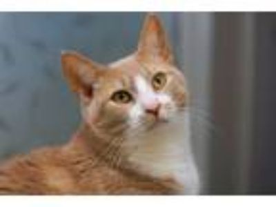 Adopt Marigold a Domestic Short Hair