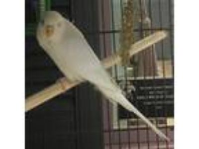 Adopt Sir Snowden a White Parakeet - Other bird in Wheaton, IL (25910112)