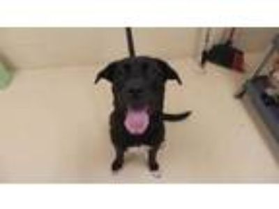 Adopt MAGGIE a Black - with White Labrador Retriever / American Pit Bull Terrier