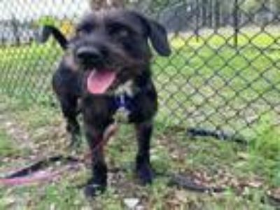 Adopt GROVER a Schnauzer, Mixed Breed