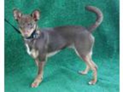 Adopt a Brown/Chocolate Terrier (Unknown Type, Medium) / Mixed dog in Hanford