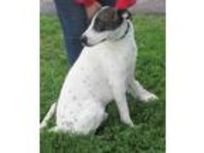 Adopt Rocky a Brindle - with White Pointer / Mixed dog in Mount Sterling
