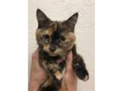 Adopt Isabelle a Domestic Medium Hair