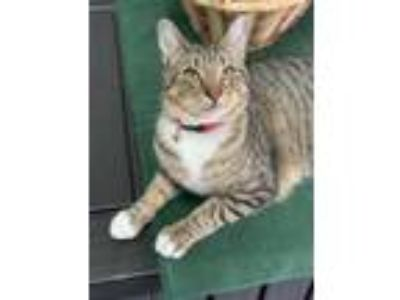 Adopt Fox a Domestic Short Hair