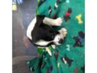 Adopt Keanu a Black - with White Akita / Border Collie / Mixed dog in Bostic