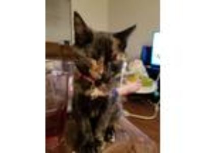 Adopt Harmony a Calico or Dilute Calico Domestic Shorthair / Mixed cat in