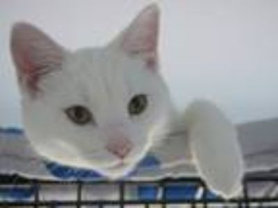 Adopt Luke a White Domestic Shorthair (short coat) cat in LaGrange