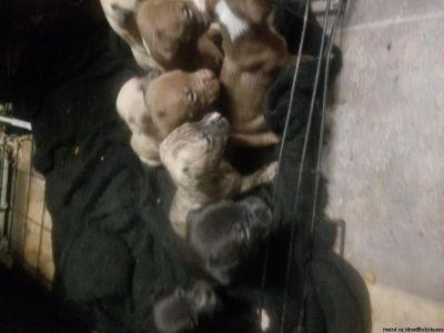 ADBA registered pitbull puppies