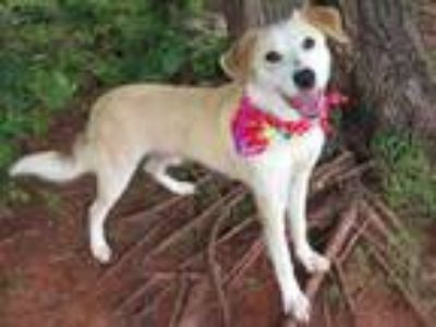 Adopt FINN a Anatolian Shepherd, Mixed Breed
