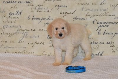 Goldendoodle-Poodle (Standard) Mix PUPPY FOR SALE ADN-104218 - Meet Carlino F1bb Goldendoodle