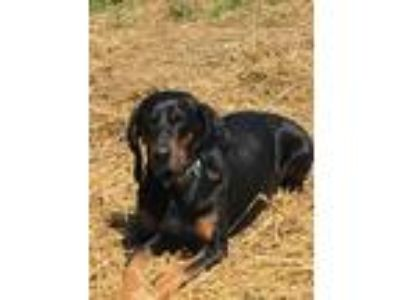 Adopt Maddie a Black - with Tan, Yellow or Fawn Black and Tan Coonhound dog in