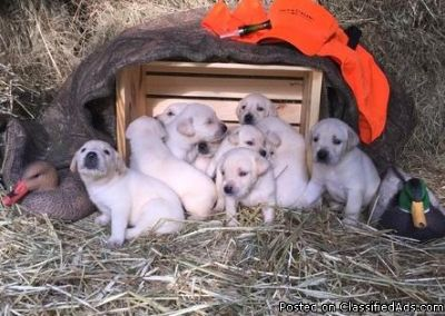 Happy X-mass Nice Golden retriever puppies for sale, Text me at (385) 218